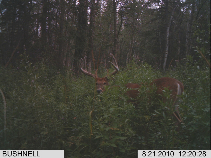 Giant whitetail buck on trail camera