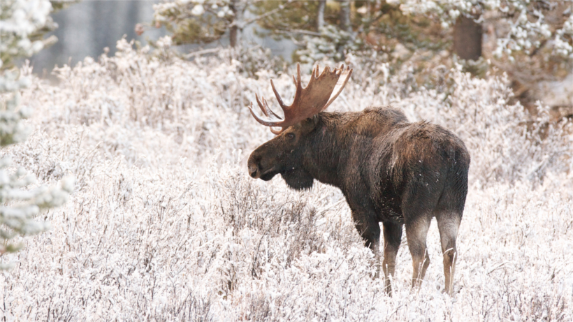 Moose in snowfield