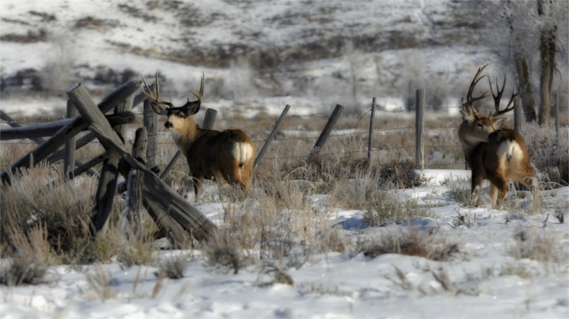 Mule deer in winter field