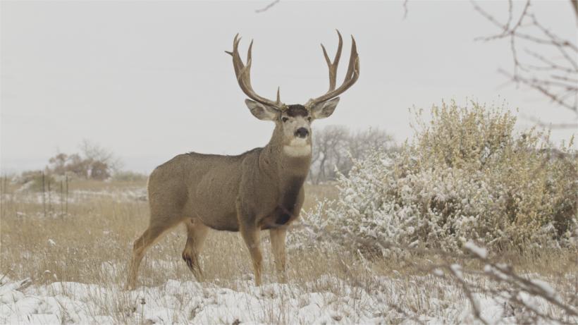 Mule deer in winter field