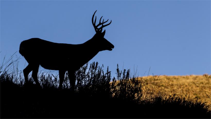 Mule deer silhoutte