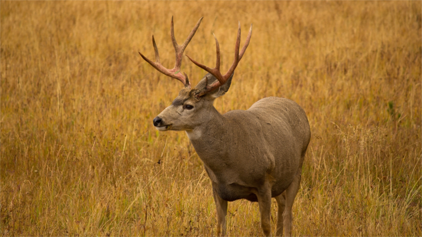 Mule deer in field