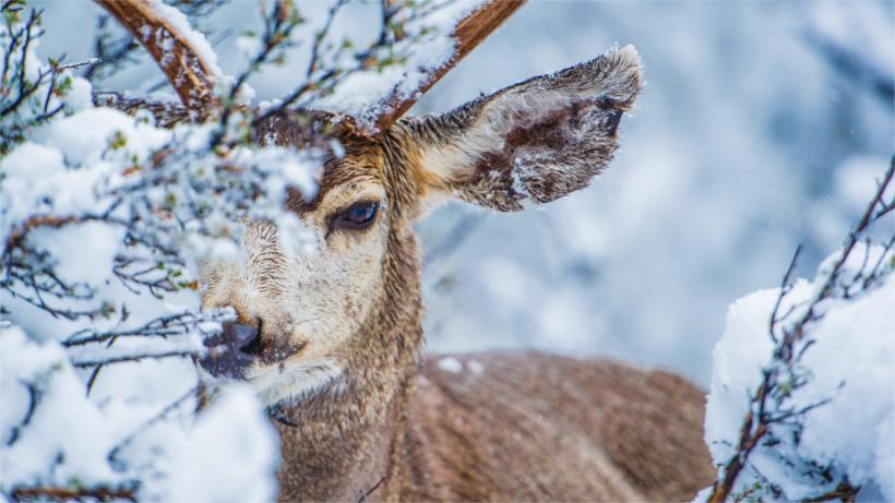 Snowy mule deer behind brush