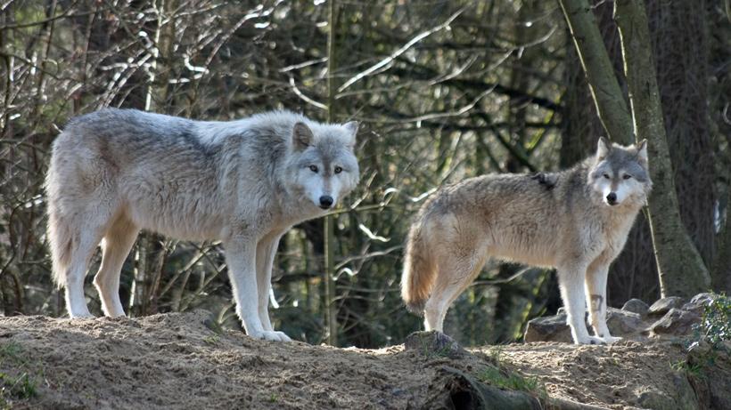 Michigan Wolf