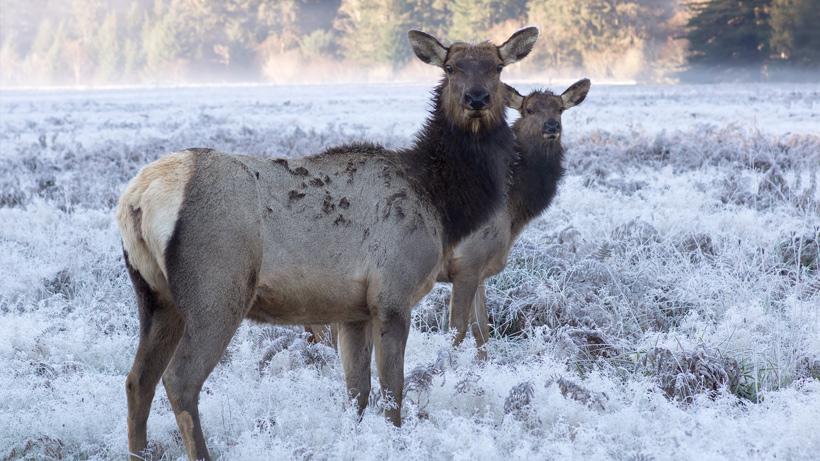Minnesota elk herd