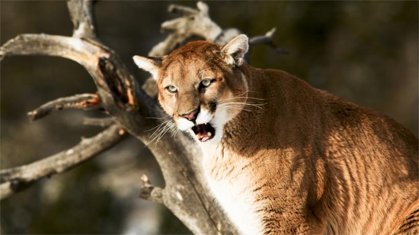 Roaring mountain lion