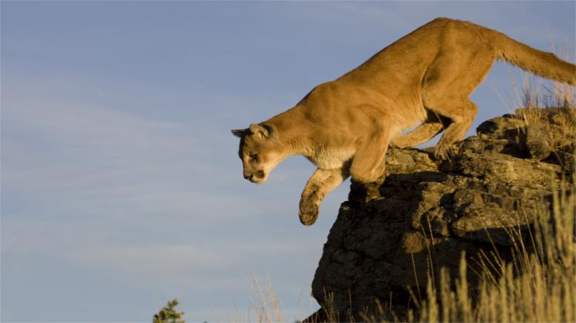 Mountain lion looking down ledge
