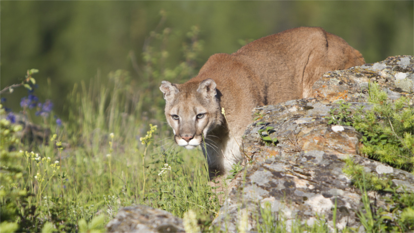 Mountain lion behind rock
