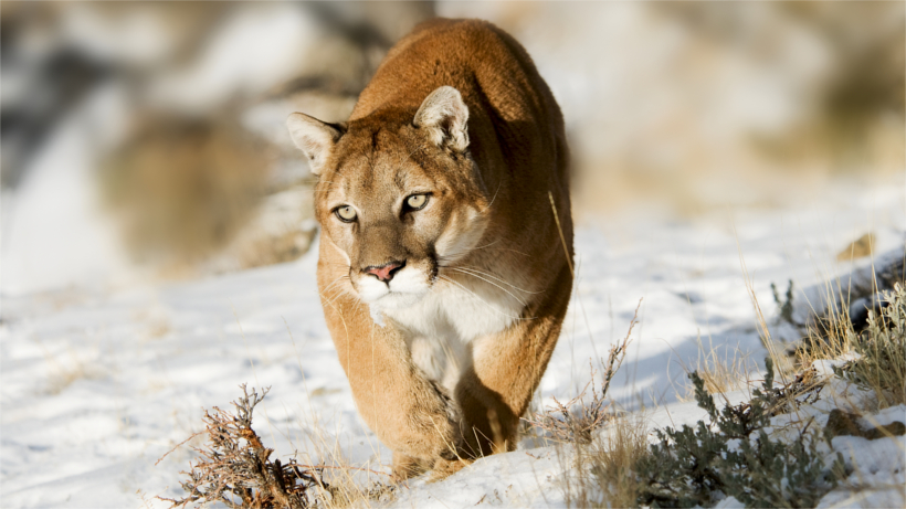 Mountain lion moving through snow