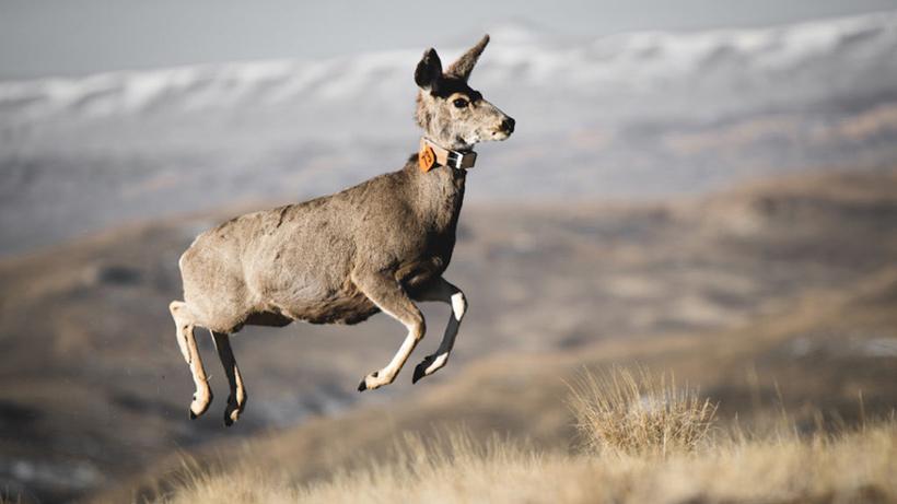 Mo mule deer