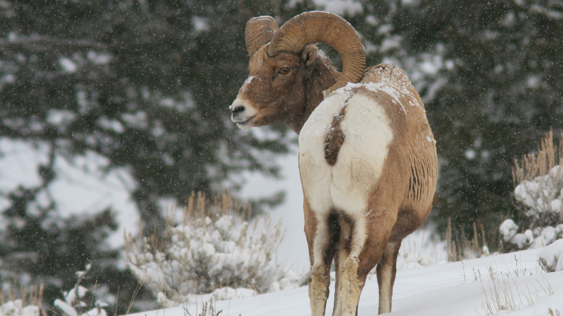Montana man guilty of poaching bighorn sheep