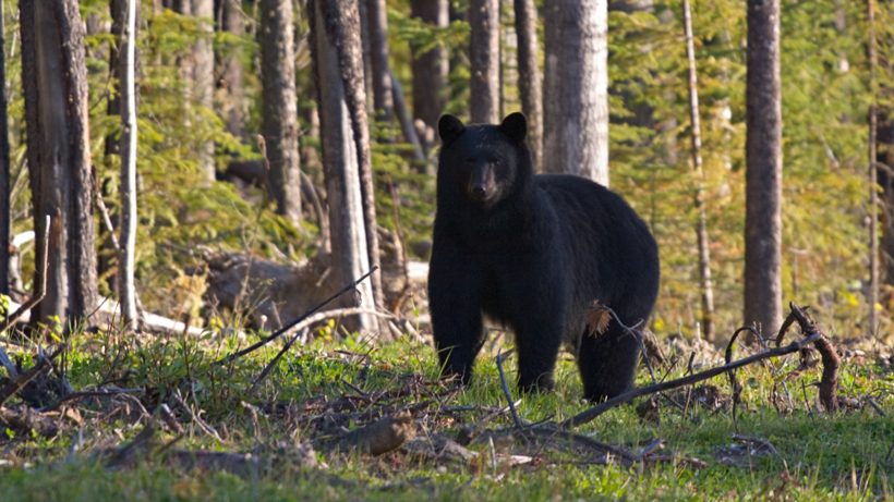 Waiting period no longer required for black bear hunting license