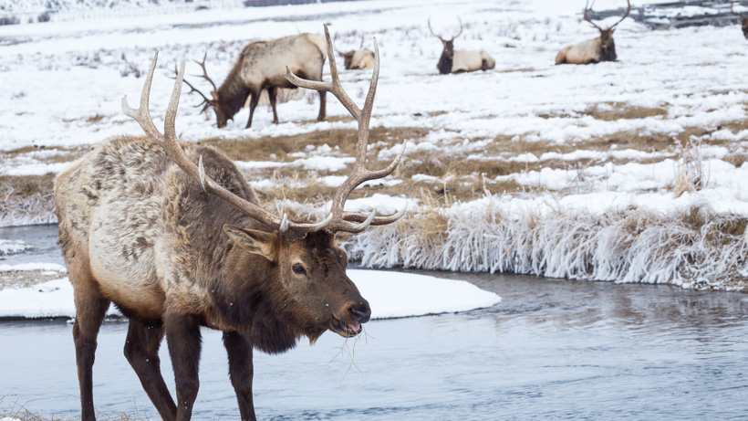 Northern yellowstone elk herd healthy and growing gohunt for Montana fish wildlife and parks drawing results