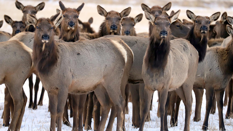 Montana FWP cites six for firing at a herd of elk