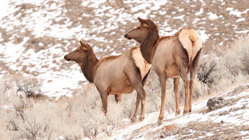 Elk numbers up in Missouri River Breaks