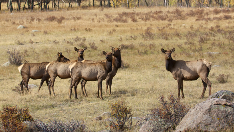 Montana FWP seeks info on two poached bull elk