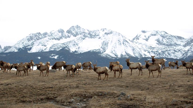 Montana Elk Herd