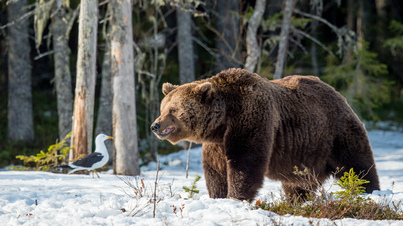 Montana receives $250,000 for grizzly bear management