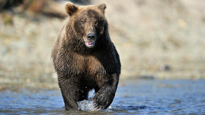 Montana Grizzly Bear