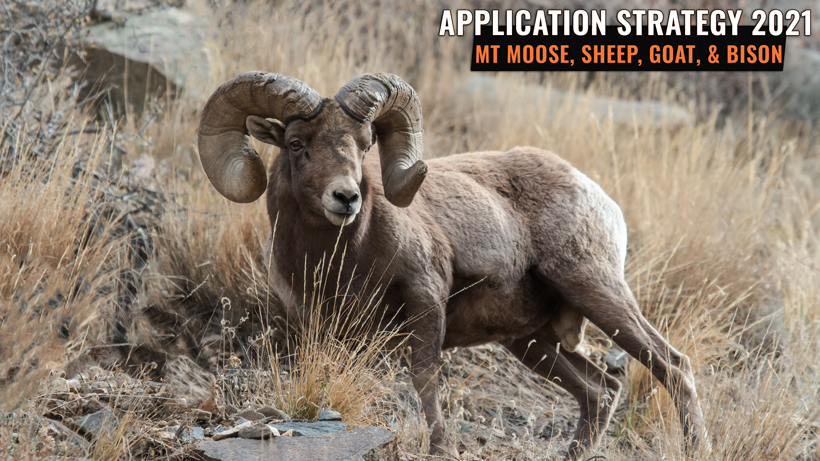 Application Strategy 2021: Montana bighorn sheep, moose, mountain goat and bison