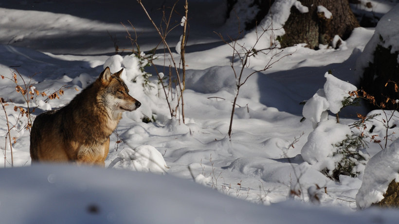 Montana governor given warning after trapping and shooting Yellowstone wolf