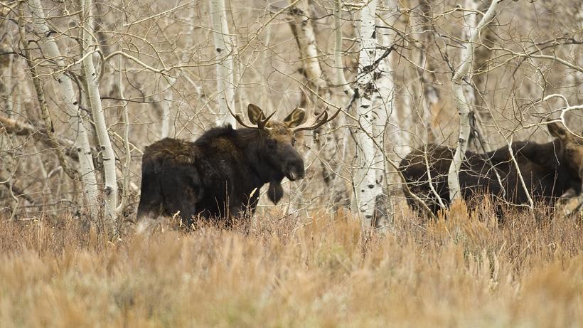 Moose in Nevada