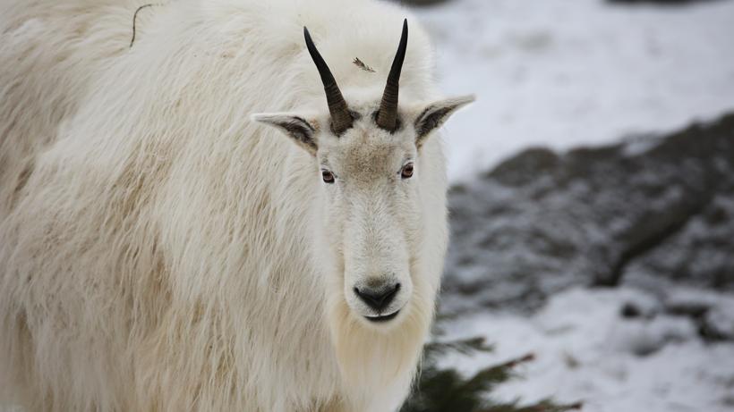 29 mountain goats remain in Teton Range