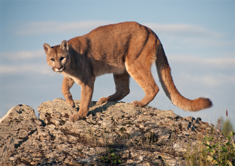 Mountain Lion stands strong