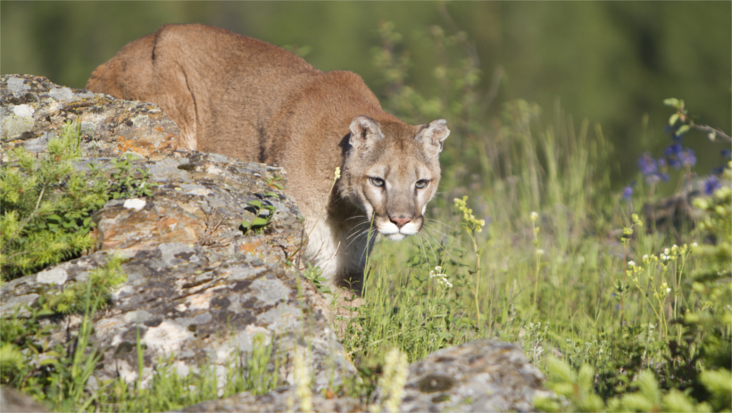 Mountain lion prowling through the field