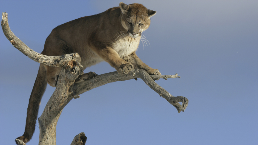 Mountain lion looking down from on top a tree