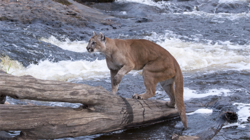 Mountain lion on log in river