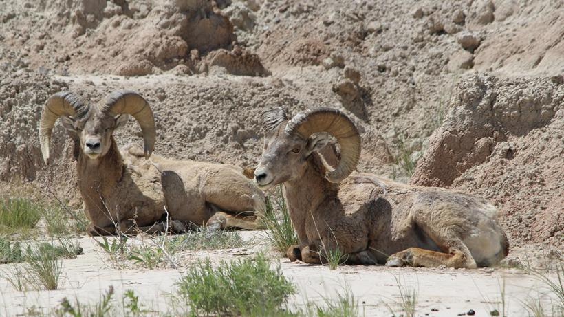 NDOW to haul 55,000 gallons of water to help desert bighorn sheep