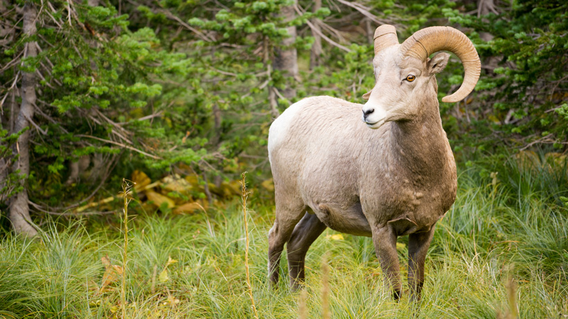 Nebraska authorizes 2021 bighorn sheep season