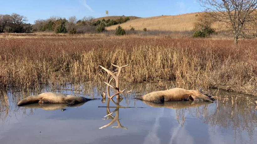 Nebraska elk