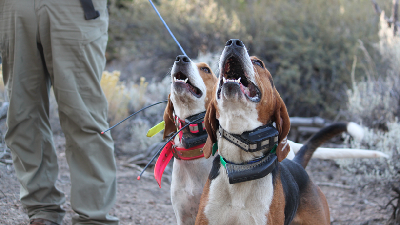 Nevada petition aims to ban the use of hounds for hunting bears