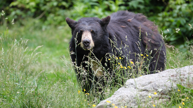 New Jersey governor wants to cancel bear hunting by 2021