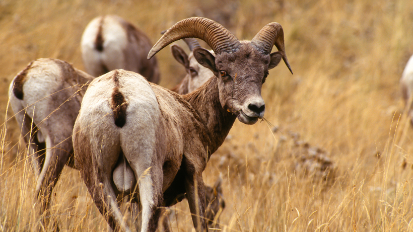 New Mexico closes national forests to protect bighorn sheep