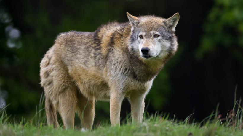 New York Wolf