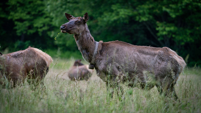 Elk return to North Carolina