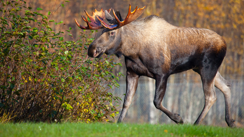 North Dakota Moose