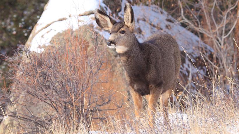 North Dakota fawn recruitment improves