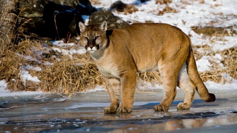 Oklahoma lawmaker proposes mountain lion season