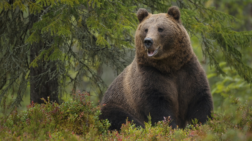 Oldest known Yellowstone grizzly bear found