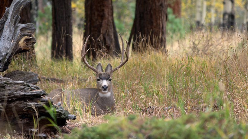 Oregon Mule Deer