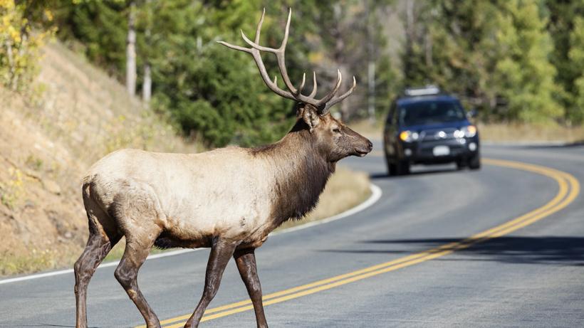 Elk crossing road