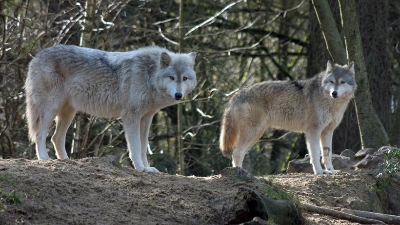 Oregon wolf numbers increase
