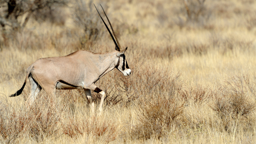 New Mexico Oryx