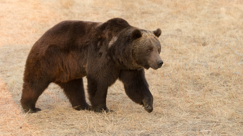 FWS seeks information on poached grizzly bear