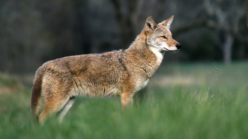 South Carolina Coyote