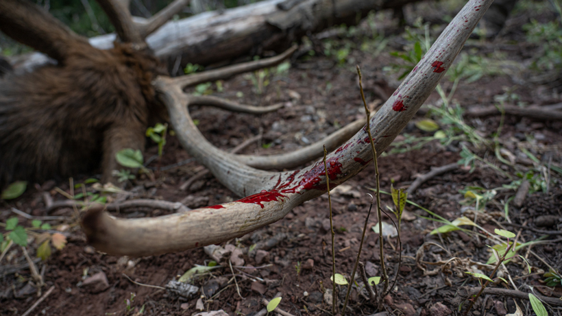 Tips & Tricks To Find Archery Bulls In Thick Timber